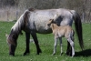 Latvia - Pape: mare and colt - colt and mother - Pape horses (Rucava, Liepajas Rajons - Kurzeme) - photo by A.Dnieprowsky