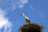 Latvia - Skaistkalne (Bauskas raj. - Zemgale): stork on its nest (photo by  Alex Dnieprowsky)