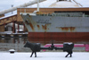 Latvia - Ventspils: oil-cow and the Iran Mazandaran - ship - tanker / Govis -  - cow parade created by Swiss-born artist Pascal Knapp  (photo by A.Dnieprowsky)
