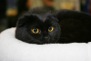 Latvia / Latvija / Lettland - Riga: black cat - feline - pet - Kakis (photo by Alex Dnieprowsky)