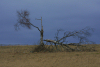 Latvia - Pape: after the storm - broken tree (Liepajas Rajons - Kurzeme) - photo by A.Dnieprowsky