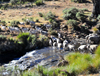 Tiping, Lesotho: sheep cross a river near the A3 road - photo by M.Torres