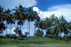 Grand Bassa County, Liberia, West Africa: line of coconut trees - photo by M.Sturges