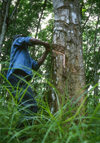 Grand Bassa County, Liberia, West Africa: rubber trees - collecting latex at the old LAC plantation - photo by M.Sturges