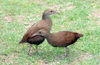 Lord Howe island: Lord Howe Woodhens M/F, Gallirallus sylvestris - fauna - biodiversity - photo by R.Eime