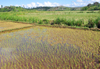 RN5, Analanjirofo region, Toamasina Province, Madagascar: flooded rice field - Malagasy agriculture - photo by M.Torres