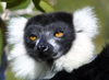 Perinet Reserve, near Andasibe, Toamasina Province, Madagascar: acutely endangered Black and White Ruffed Lemur - Varecia variegata - arboreal primate - this species is still hunted for food - photo by R.Eime