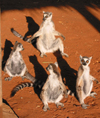 Berenty reserve near Fort-Dauphin, Toliara province, Madagascar: Ring Tailed Lemurs gather together to bask in the morning light - lemur catta - Maki or Hira - photo by R.Eime