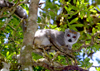Montagne d'Ambre National Park, Antsiranana / Diego Suarez Province, Madagascar: female Crowned Lemur on a tree - Eulemur coronatus - photo by R.Eime
