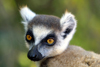 Madagascar - Berenty reserve near Fort-Dauphin, Toliara province: Ring Tailed Lemur - face close-up of a Maki or Hira - Lemur catta - Strepsirhine primate, Lemuridae family - listed as 'Near Threatened' in the IUCN Red List - photo by Rod Eime