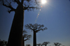 Alley of the Baobabs, north of Morondava, Menabe region, Toliara province, Madagascar: baobabs under the midday sun - the massive trunks have little wood fibre, allowing for a large volume of water to be stored - Adansonia grandidieri - photo by M.Torres