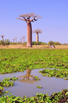 Alley of the Baobabs, north of Morondava, Menabe region, Toliara province, Madagascar: baobabs and pond with water lilies - raising water levels due to expanding rice cultivation threaten the baobabs - Adansonia grandidieri - photo by M.Torres