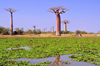 Alley of the Baobabs, north of Morondava, Menabe region, Toliara province, Madagascar: baobabs and pond with water lilies - baobab roots are harmed by waterlogged soils - Adansonia grandidieri - photo by M.Torres