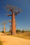 Alley of the Baobabs, north of Morondava, Menabe region, Toliara province, Madagascar: impressive baobabs and the dirt road aka Avenue of the Baobabs - Adansonia grandidieri - photo by M.Torres
