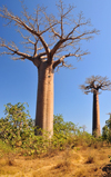 Alley of the Baobabs, north of Morondava, Menabe region, Toliara province, Madagascar: the locals for whom the trees have potent spiritual significance call the baobabs 'renala', Malagasy for 'mother of the forest' -  Adansonia grandidieri - photo by M.Torres