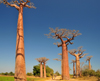 Alley of the Baobabs, north of Morondava, Menabe region, Toliara province, Madagascar: a dozen baobab trees straddle the narrow sandy road, soaring 30 metres into the sky - Adansonia grandidieri - photo by M.Torres