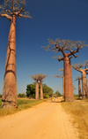 Alley of the Baobabs, north of Morondava, Menabe region, Toliara province, Madagascar: a tree-lined boulevard in the middle of nowhere - baobabs - Adansonia grandidieri - photo by M.Torres