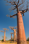 Alley of the Baobabs, north of Morondava, Menabe region, Toliara province, Madagascar: Adansonia grandidieri is the tallest species of baobab, named after the French botanists Michel Adanson and Alfred Grandidier - photo by M.Torres