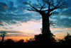 Alley of the Baobabs, north of Morondava, Menabe region, Toliara province, Madagascar: baobab silhouette at sunset - Adansonia grandidieri - photo by M.Torres