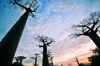 Alley of the Baobabs, north of Morondava, Menabe region, Toliara province, Madagascar: 'roots' in the sky - baobabs at sunset - the Adansonia grandidieri species is listed as endangered by the World Conservation Union - photo by M.Torres
