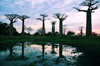 Alley of the Baobabs, north of Morondava, Menabe region, Toliara province, Madagascar: baobabs and pond at sunset - 30 m in height, baobab trees can be up to 800 years old -  Adansonia grandidieri - photo by M.Torres
