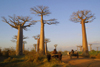 Allee des Baobabs, north of Morondava, Menabe region, Toliara province, Madagascar: silent giants - old Baobab trees and zebu carts - Adansonia granddieri - Avenue of the Baobabs - photo by R.Eime