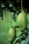 Madeira - mangas / mangoes - fruit - photo by F.Rigaud