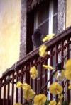 Funchal: pombo numa varanda / pigeon on a balcony - photo by F.Rigaud