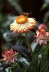 Madeira - abelha numa flor / bee on a flower - photo by F.Rigaud