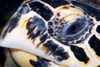 Malaysia - Perhentian Island - Twin rocks: Hawksbill turtle (Eretmochelys imbricata) close up of the head