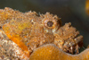 Perhentian Island - Temple of the sea: Raggy scorpionfish (scorpaenopsis venosa) sat on a coral bommie