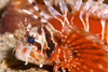 Perhentian Island -Temple of the sea: Zebra lionfish (Dendrochirus zebra) on a sandy bottom