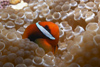 Malaysia - Perhentian Island - Temple of the sea: Bridled anenome fish (Amphiprion frenatus) in a bubble anenome - underwater photo by Jez Tryner