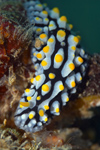 Malaysia - underwater images - Perhentian Island - Temple of the sea: Phyllididae nudibranch (Phyllidia varicosa), Warty sea slug, on top of a rock - photo by J.Tryner