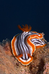 Malaysia - underwater images - Perhentian Island Chromodoris magnifica, magnificent chromodoris nudibranch on a dead oyster shell - photo by J.Tryner