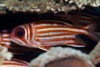 Perhentian Island: Red coat squirrelfish (Sargocentron rubrum) under a table coral