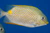 Perhentian Island - Temple of the sea: Gold saddle Rabbitfish (Siganus guttatus) in the blue