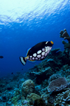 Sipadan Island, Sabah, Borneo, Malaysia: Clown Triggerfish on the coral reef - Balistoides conspicillum - photo by S.Egeberg