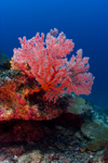 Sipadan Island, Sabah, Borneo, Malaysia: red soft coral on South Point - photo by S.Egeberg