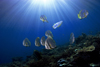 Sipadan Island, Sabah, Borneo, Malaysia: school of Circular Batfish under the sun - Platax orbicularis - photo by S.Egeberg