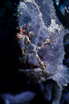 Mabul Island, Sabah, Borneo, Malaysia: Blue Giant Frogfish - Antennarius Commersoni - photo by S.Egeberg
