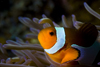Mabul Island, Sabah, Borneo, Malaysia: face of Western Clownfish and its host sea anemone - Amphiprion ocellaris - photo by S.Egeberg