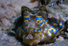 Mabul Island, Sabah, Borneo, Malaysia: head of Fingered Dragonet - Dactylopus dactylopus - photo by S.Egeberg