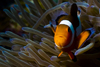 Mabul Island, Sabah, Borneo, Malaysia: single Western Clownfish in anemone - front view - Amphipnon Ocellaris - photo by S.Egeberg