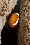Malaysia - Perhentian Island - Batu Nisan: Panda / saddleback anenome fish (Amphiprion polymnus) in it's anenome - front view - underwater photo by Jez Tryner