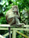 Malaysia - Sarawak (Borneo) - Bako National Park: # Crab-eating Macaque or Long-tailed Macaque or Kera, Macaca fascicularis (photo by Rod Eime)