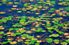 Lilly pads on pond, Langkawi, Malaysia. photo by B.Lendrum