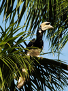 Wild oriental pied hornbill (Anthracoceros albirostris) Pulau Pangkor Island, Malaysia. photo by B.Lendrum