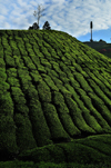 Cameroon Highlands, Pahang, Malaysia: tea grows in the  cool climate 1,500 m above sea level - photo by J.Hernández