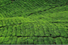 Cameroon Highlands, Pahang, Malaysia: tea plantation - Camellia sinensis plant - dense mosaic of tea bushes - photo by J.Hernández